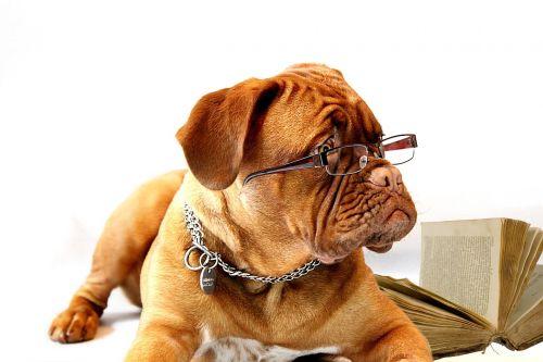 dog dogue de bordeaux mastiff