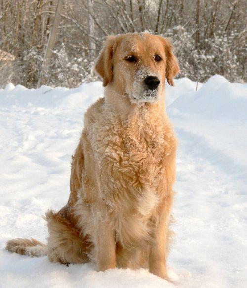 dog snow golden retriever