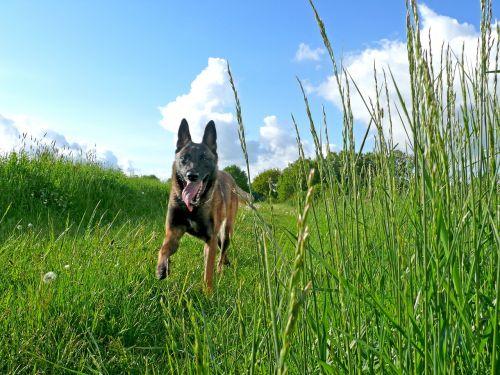 dog malinois belgian shepherd dog