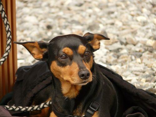 šuo,Pinčeris,gyvūnas,padaras,ruda,juoda,veidas,portät