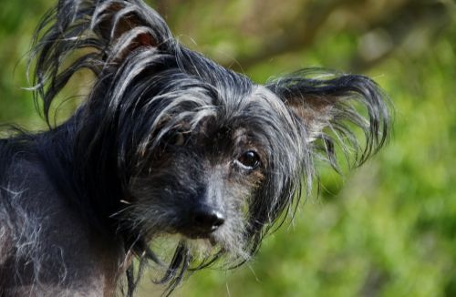 dog view chinese crested dog