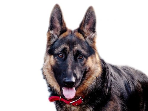 dog pastor german shepherd