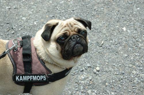 dog pug dangerous