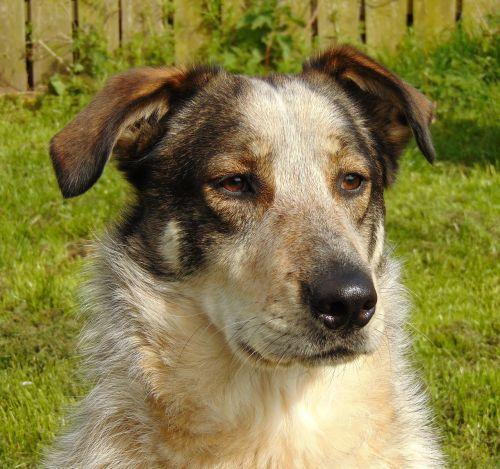 dog sheepdog collie