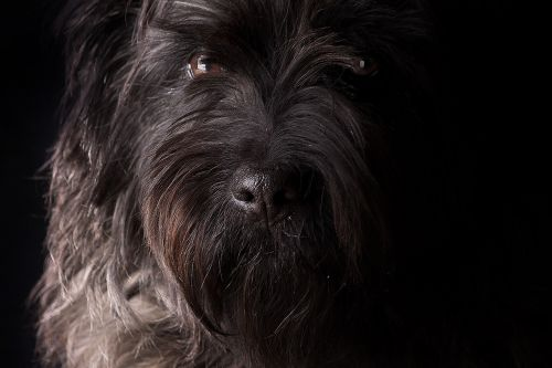 šuo,šnauzeris,gyvūnas,naminis gyvūnėlis,šuo snukis,Uždaryti,šuo galvą,nosis,gyvūnų portretas,gamta,šuo išvaizdą,žinduolis,akys,kailis,terjeras,Gerai