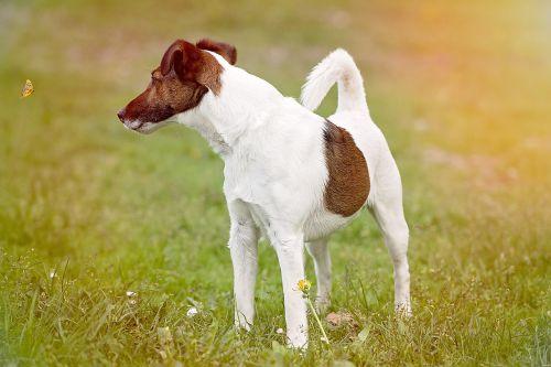 šuo,terjeras,naminis gyvūnėlis,gyvūnas,pieva,žolė,gamta,out
