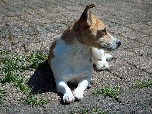dog garden jack russell