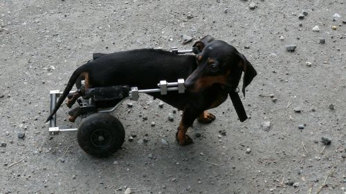 dog sick wheels