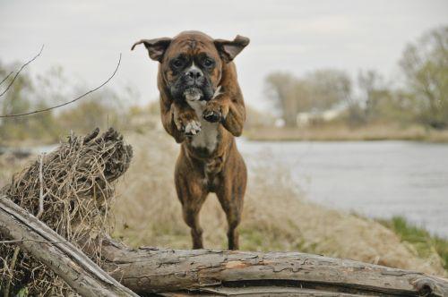 dog jump an athlete