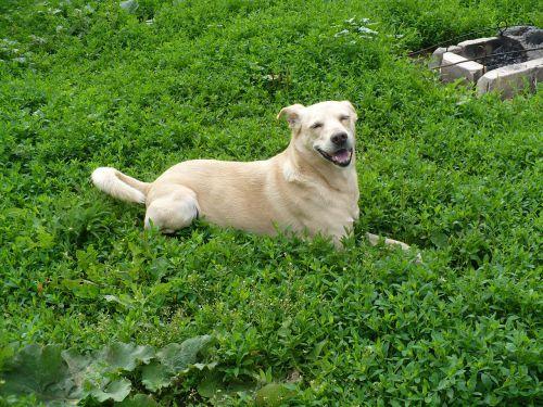 šuo,laistymas,vasara,kiemas,Mongrelis,smėlio spalvos,linksmas,pieva,kiemas