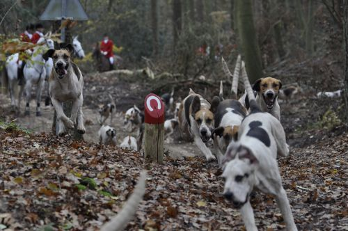 dog hunting dogs