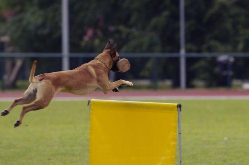 dog malinois belgian shepherd
