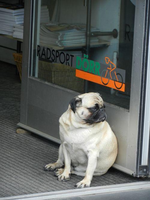 dog pug waiting