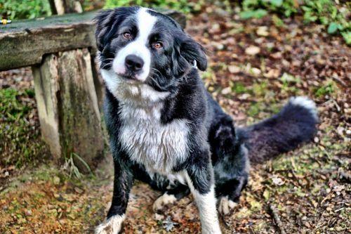 dog colly border colly