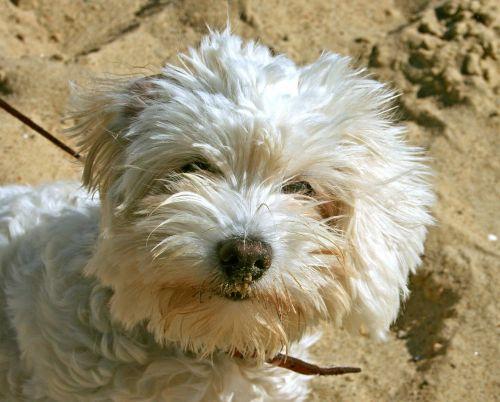 dog poodle shaggy
