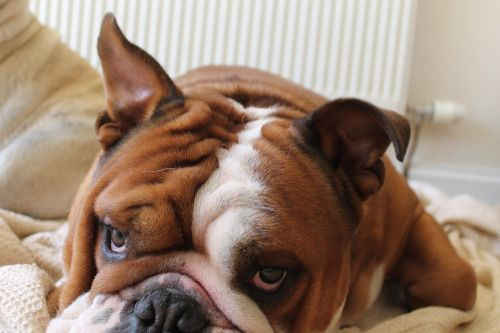 dog bulldog british