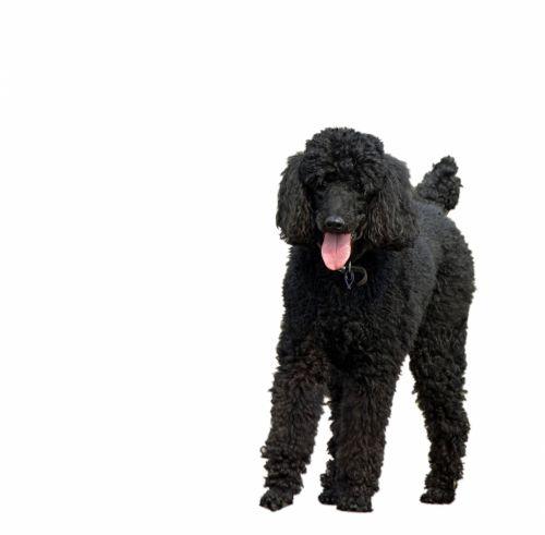 Dog, Black Standard Poodle