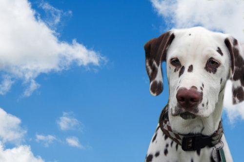 Dog, Dalmatian, Blue Sky