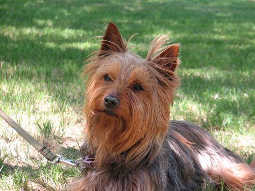 šuo veido,ruda,ilgas kailis,Mongrelis,sąmojingas,intensyvus