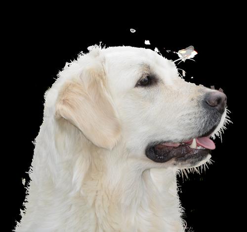 dog free  golden retriever  pet