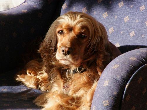 šuo fotelyje,šuo saulėje,rudas šuo,šuo,šuniukas,šunys,mielas šuo