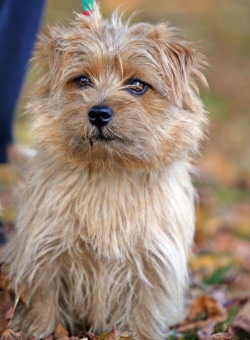 Dog Norfolk Terrier Portrait