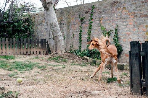 dog playing  saluki  persian greyhound