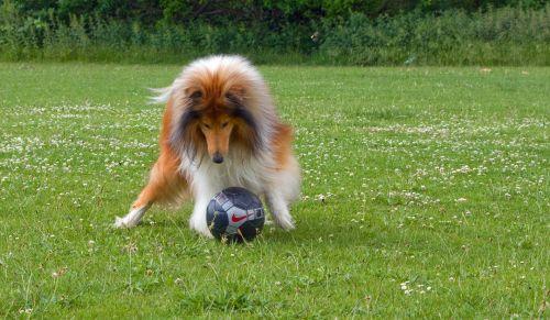 kolis, grubus & nbsp, collie, šuo, naminis gyvūnėlis, šunys, veislė, žaisti & nbsp, futbolą, žaisti, futbolas, žaisti & nbsp, futbolą, futbolas, futbolas & nbsp, kamuolys, linksma, lauke, nuotrauka, vaizdas, šuo žaisti futbolą