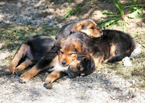 dog puppies puppies dog