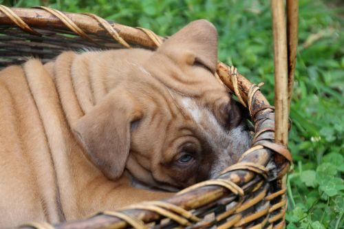 dog puppy wrinkled basket wrinkles