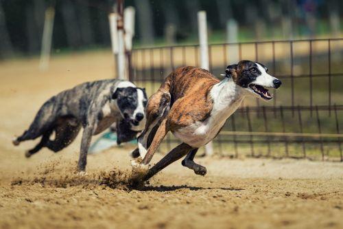 dog racing dog animal