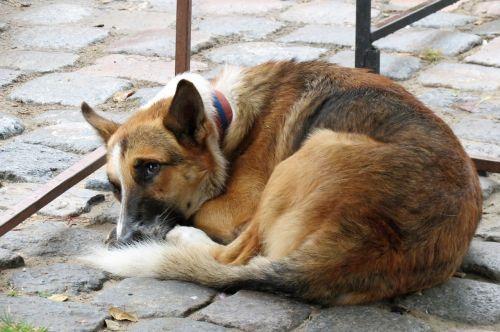 dog resting animals stray dog