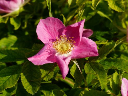 dog rose rose bloom blossom