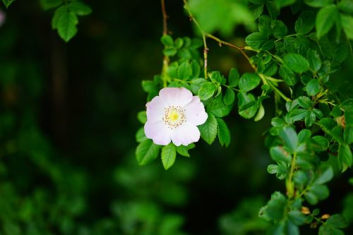 dog rose,rose bloom,blossom,bloom,pink,light pink,translucent,hell,back light,light,rosa canina,hageman rose,wild rose,rose greenhouse,rosaceae,petals,filigree,rose,pioneer gehölz,halde plant,hedge plant,protection plantation,soil stabilizer