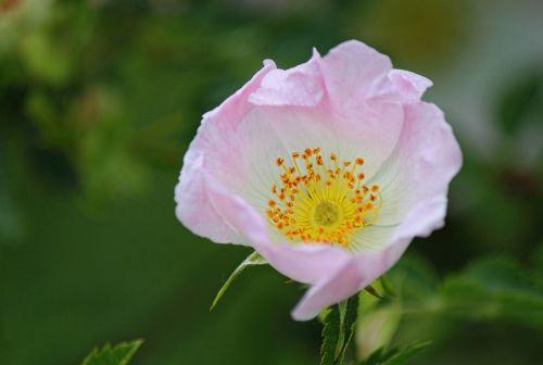 dog rose wild rose