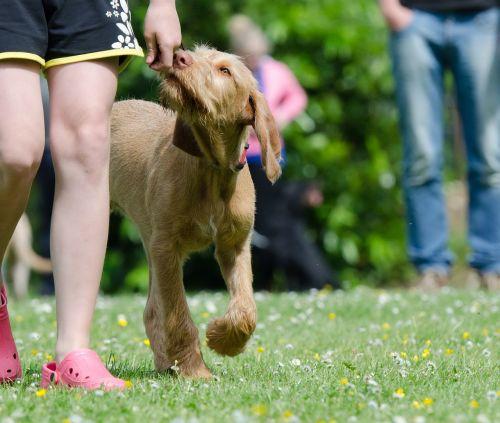 dog school dog training viszla