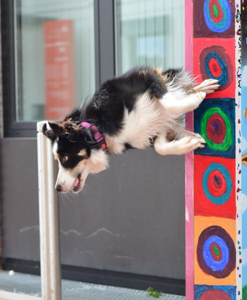 dog trick border collie city