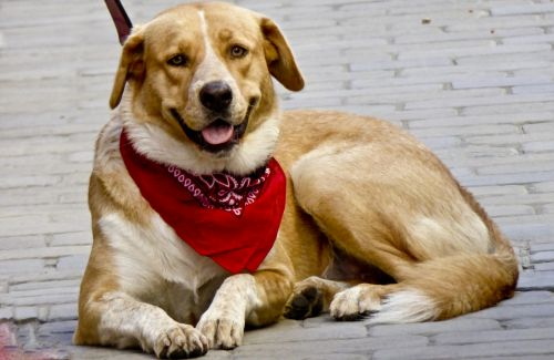 Dog Wearing Red Bandanna