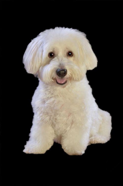 šuo, balta, purus, šuniukas, šuniukas, jaunas, portretas, sėdi, juoda, fonas, mielas, šunys, naminis gyvūnėlis, gyvūnas, Laisvas, viešasis & nbsp, domenas, šuo baltas purus