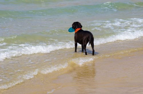 Dog With Frisbee At Beach
