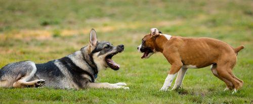 šunys,žaisti,danelės,augintiniai,žaisti,žolė,lauke,linksma,mielas,boksininkas,Vokiečių aviganis