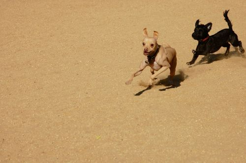 dogs play chase
