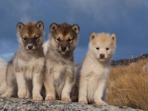 dogs sled dogs greenland