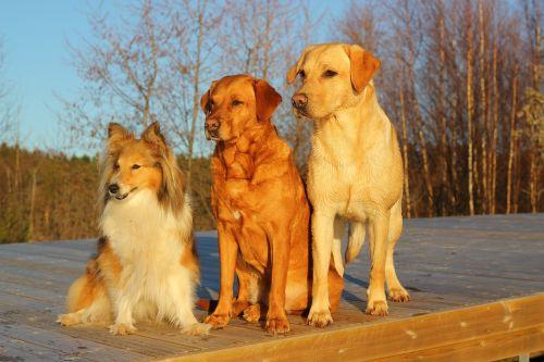 dogs labrador friends