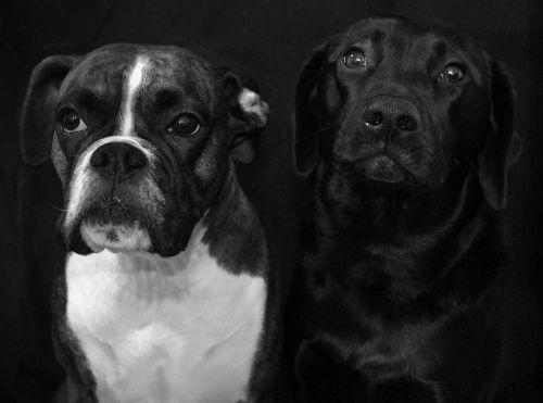 dogs pedigree animal