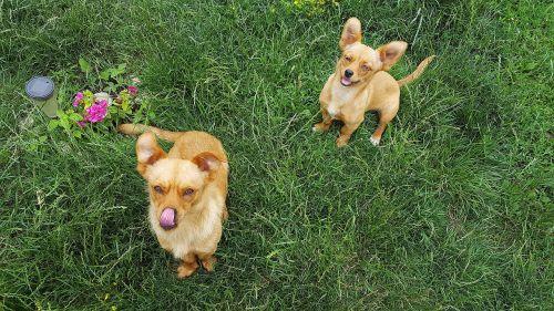 šunys,jaunas šuo,šuniukai,šuniukas,juokingi šunys,geltonas šuo,geltonieji šunys,šunys,šunys,jauni šunys,šuniukas,kilmės,šunys,žavinga,Cub,whelp,vidaus,gyvūnas,naminis gyvūnėlis,mielas šuo,draugas,juokinga,jaunas,laimingas,šunų rūšys,moteriškos lyties šuo,šunų nuotraukos,Šypsokis šunys,tingus šuo,šuo veido,šuo mielas,šuo juokingas,šuo juokiasi,šuo mergina,šuo berniukas