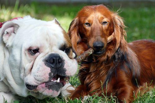 dogs english bulldog dachshund