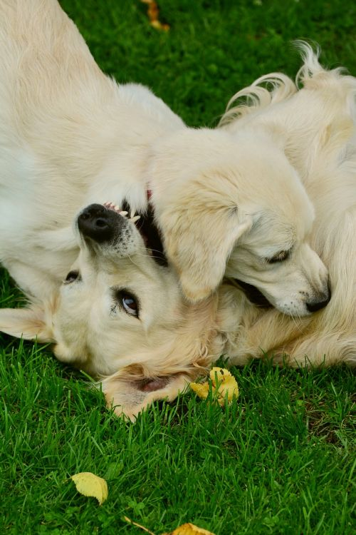 dogs golden retriever playing dogs