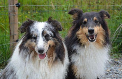 dogs shepherd shetland couple