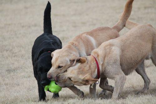 dogs play retriever